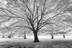 Felbrigg Estate 19/05/2016 (Matthew Dartford) Tags: blackandwhite bw tree monochrome leaves forest woodland ir mono leaf branch branches infrared eastanglia happisburgh felbrigg infraredphotography