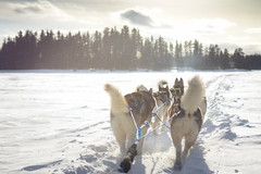 Arrive au camp trappeur (camel.arnaud) Tags: dog golden soleil hiver lac qubec hour neige sled chiens couch traineau aventure aventuraid