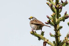 IMG_6718-55.jpg (David A Mitchell) Tags: whitethroatedsparrow