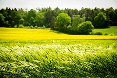 Fredeburg 38.jpg (vossemer) Tags: de deutschland natur pflanzen felder raps schleswigholstein landschaften blten fredeburg