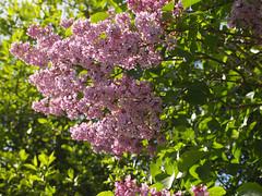 Lilac (gripspix (OFF)) Tags: plant flower nature blossom natur pflanze lilac shrub blume blte busch flieder 20160523 foolingwithmycam kameranarrheiten