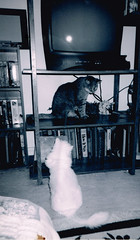 Delilah and Briars Fueding (kevin63) Tags: cats photoshop photos myrtle delilah lightner lingling briars
