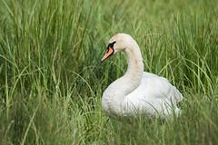 swan (debraflynnphotography) Tags: birds sussex chicks wildfowl wwtarundel