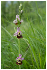 Late Spider-orchid (Franois dt) Tags: flower nature orchids olympus wildflowers em1