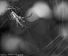 Come to my web (George McNeill photography) Tags: blackandwhite macro nature monochrome oneaday closeup spider outdoor spidersweb wildlifephotography lovephotography gardenspiders nikond7200 365shutterreleasechallengeblackandwhite