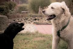 Immo & Fibi ( kerstin-horn.de) Tags: goldenretriever puppy labrador retriever welpe immo