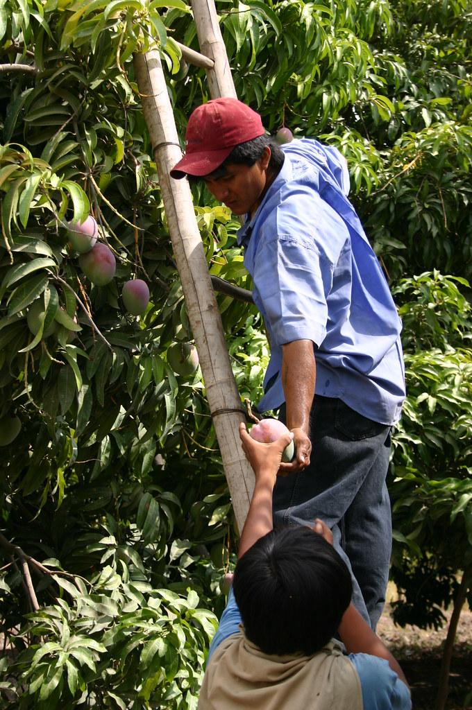 Cueillette mangues
