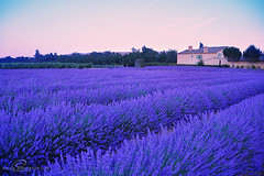 Lavenders (_Paula AnDDrade) Tags: travel pink france color colors field cores landscape nikon europa europe colours purple lavender frana colores campo cor lavanda provance nikond90