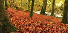 Leaf covered floor (Andrewsteeleuk) Tags: uk orange brown white black tree green nature water yellow canon landscape scotland unitedkingdom scenic dslr leafs perthandkinross birksofaberfeldy eos450d lochlomondandthetrossachsnationalpark october2011 canonef1740mmf4lisusm urlarburn autumn2011