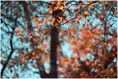 autumn splendor (the kelp knot) Tags: autumn fall leaves maple maryland foliage acer jewels courtnayjaniak