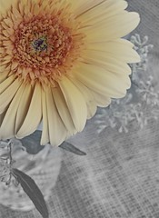 ~Selective Slide~ (MacroMarcie) Tags: flower macro pentax q gerberdaisy selectivecolor hss slidersunday
