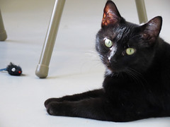 Black Cat (BlueRidgeKitties) Tags: pet black cat wataugahumanesociety cc4000 ccbyncsa canonpowershotsx40hs