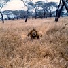 Lion in the bush