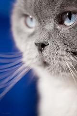 Masya (Emyan) Tags: blue portrait pet cat nose eyes kitten shorthair british masya canon180mm animsla canon5dmk2