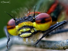 Damselfly Eye (StevieC-Photography) Tags: uk animal closeup outdoors photography scotland fly day wildlife nopeople damselfly oneanimal animalthemes colourimage differentialfocus steviec irvinescotland