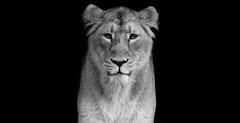 The Lioness II (SDeb0003) Tags: wild beauty animal fauna cat mammal zoo feline leo lion symmetry lioness carnivore panthera