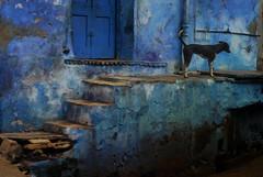 IND4444 - Le chien bleu - Inde Bundi Rajasthan (Persodan) Tags: voyage trip travel blue portrait people india color colors face look portraits travels nikon faces retrato bleu belle d200 inde regard voyages baroudeur beaux 2011 incredibleindia fixfocal 55micronikkor danielpapineau barouder danielpapineauallrightreserved