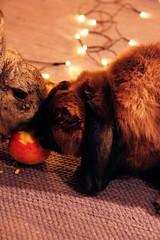 Tara + Dusty (Phototropy) Tags: christmas light rabbit bunny eye night canon fur lights bokeh ear lop 600d 18135mm picturetheholidays phototropysolonivorous
