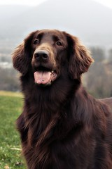 Aging to continual perfection (Flat Coat Whimsy) Tags: portrait dog whimsy retriever perro flatcoatedretriever