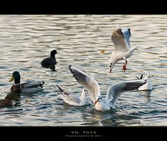 Struggle for food (def110) Tags: food seagulls lake water germany see fight wasser niceshot ducks freiburg canards mouettes kampf futter 2011 nikkor8020028 d700 nikond700 oltusfotos dietenbachgelnde