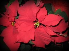 """Merry Christmas To Everyone"" (ellenc995) Tags: poinsettia christmas holiday december25 red flower platinumheartaward friends hennysgardens coth supershot naturallywonderful rubyphotographer citrit top25redorangeandyellow abigfave concordians 100commentgroup 5wonderwall yearofholidays ruby5 seeawonder akob challengeclubchampion thegalaxy"