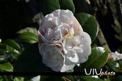 Camelia 3 corazones. (vivndum) Tags: espaa naturaleza flower nature three spain nikon heart flor galicia galiza tres camelia camellia triple corazones d3100