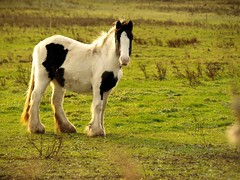 Whittlesey Wash Horse, (saxonfenken) Tags: blackandwhite horse sunlight field animal mammal farm wash 91 a3b friendlychallenges thechallengefactory pregamesweepwinner 91animal 10thdece510