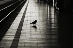 impressioni (pino piedimonte) Tags: blackwhite milano stazione animali piccione biancoenero controluce monocrome incomunicabilit neroamet licwip