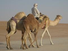 Camel rider at Al Dhafra Camel Festival