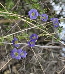 Tropaeolum azureum (Chilebosque) Tags: azul tropaeolum tropaeolaceae soldadito trepadoras azureum tropaeolumazureum