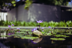 Water lily (Karl Hab) Tags: travel water canon thailand photography eos hotel december waterlily lily bokeh mark sala ii karl 5d phuket nnuphar effected hab nenuphar lightroom 2011  bookeh