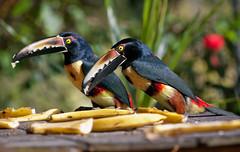 """Cute birds (""""Olga"""") Tags: toucan costarica collaredaracari aracari"""
