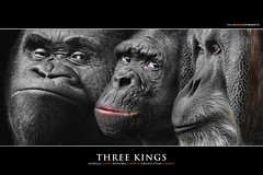THREE KINGS (Matthias Besant) Tags: look animal animals mammal deutschland monkey tiere eyes niceshot hessen looking gorilla ngc orangutan ape monkeys augen mammals apes fell blick bonobo tier affen affe primat schauen pygmychimpanzee hominidae blicken primaten saeugetier saeugetiere menschenaffen hominoidea trockennasenaffe zwergschimpanse menschenartige mygearandmesilver mygearandmegold mygearandmeplatinum mygearandmediamond ringexcellence blinkagain tplringexcellence flickrstruereflection1 flickrstruereflection3 flickrstruereflection4 flickrstruereflection5 flickrstruereflection6 flickrstruereflection7 eltringexcellence flickrstruereflectionexcellence trueexcellence1 affenfell menschenartig rememberthatmomentlevel4 flickrsfinestimages1 rememberthatmomentlevel5 rememberthatmomentlevel6 matthiasbesantphotography