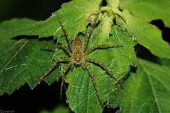 Aranha (Enio Branco) Tags: macro nature spider rainforest wildlife sony natureza beetle bugs scorpion biology thick biodiversity arachnida biologia insetos aranha harvestmen macrophotography aranhas macrofotografia opiliones mataatlntica escorpio biodiversidade aranae caro tapira sonyalpha opilio natureplus votorantim caros escorpiones opilies escorpies macrolife sonya550 eniobranco serradesaofrancisco