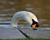 Peeping Swan (Scene Machine) Tags: birdperfect