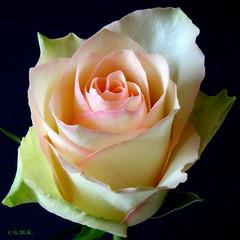 Winter Rose_1 (Gina M.K.) Tags: rose january doublefantasy simplyflowers finegold floralfantasy wonderfulphotos bej perfectpetals awesomeblossoms andromeda50 unforgettableflowers naturescarousel january2012 nikoncoolpixs8000