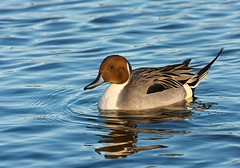 Swimming in Blue (Karen_Chappell) Tags: blue brown white lake black male bird nature water newfoundland duck pond drake nfld pintail northernpintail