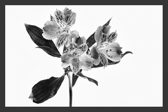 Black Magic Flower [Astromelia] (Javier_Lpez) Tags: naturaleza white black flower macro nature nikon flash flor tamron javier 90 elx elche lpez astromelia strobist d7000 javierlpez