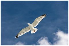 Goéland (fibru) Tags: 2005 summer france birds brittany europe bretagne été goéland cotedegraniterose blinkagain