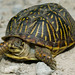 Ornate Box Turtle from Missouri