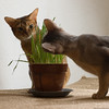 Grass is Good 1 (peter_hasselbom) Tags: blue cats grass cat 50mm flash usual pot claypot abyssinian ruddy twocats eatinggrass 2cats 2flashes