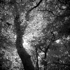 Leaf Layer (noahbw) Tags: autumn trees light bw monochrome leaves forest square blackwhite woods nikon branches treetrunk explored d5000 noahbw