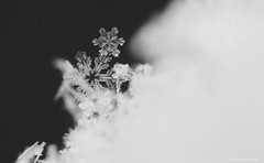 Snowflakes (Photography Through Tania's Eyes) Tags: snowflake snow white cold freeze winter macro peachland okanagan okanaganvalley bc britishcolumbia canada taniasimpson photographer photography photograph photo image copyrightimage nikon nikond7000 pom macrodreams