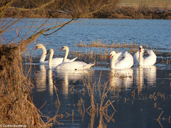 "Swans (France) • <a style=""font-size:0.8em;"" href=""http://www.flickr.com/photos/71979580@N08/6719241369/"" target=""_blank"">View on Flickr</a>"