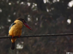 Stork-billed Kingfisher (ArpanSaha) Tags: birds storkbilledkingfisher