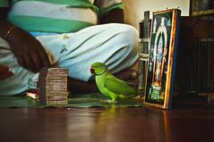 Parrot astrology -   (Padmanabhan' (Paddy)) Tags: india nikon sigma parrot chennai astrology 70300 dakshinchitra parrotastrology tamilanadu