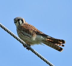 American Kestrel (integralrootcosxdx) Tags: nature birds nikon hawk american raptor sparrow falcon nikkor americankestrel kestrel sparrowhawk falco falcosparverius sparverius flickraward