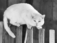 "His name is ""Snowball""? :) (Andrey Tarasenko) Tags: winter blackandwhite bw cats animals cat countryside blackwhite village country siberia ru    russianfederation    jupiter37a   37 troickoe"
