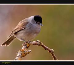 Curruca capirotada (Sylvia atricapilla) (eb3alfmiguel) Tags: curruca aves insectívoros pájaros