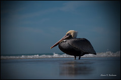 Brown Pelican (sbuck1205) Tags: alligator floridabirds lettucelakepreservetampa